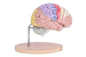 comprar cerebro didactico