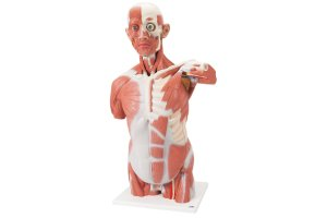 comprar modelo anatomico